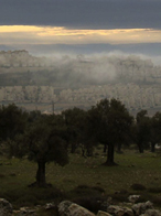 The Olive Route : The Olive Tree in the Holyland